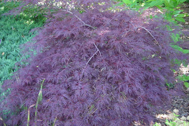 Acer palmatum 'Red Filigree Lace' (red lace-leaf Japanese maple)