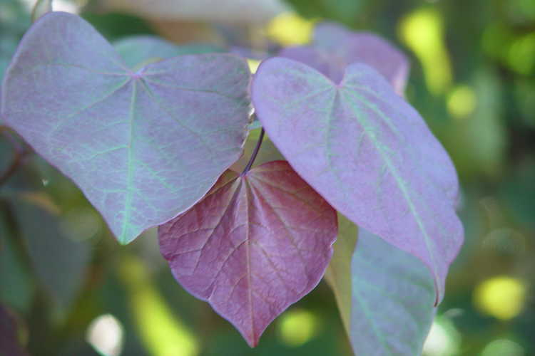 Cercis canadensis 'Forest Pansy' (purple-leaf eastern redbud)