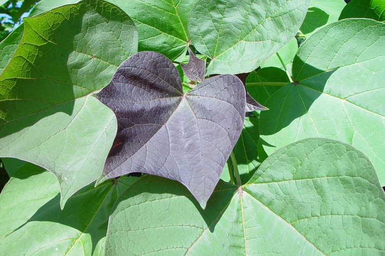 Catalpa ×erubescens 'Purpurea' (purple catalpa)