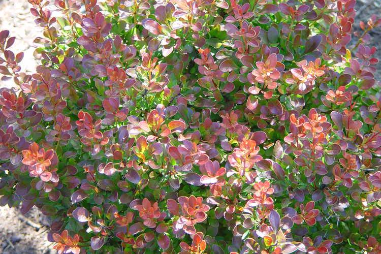 Berberis thunbergii var. atropurpurea 'Bagatelle' (dwarf purple-leaf Japanese barberry)