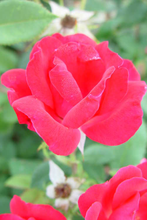 Rosa 'Radrazz' (Knock Out shrub rose)