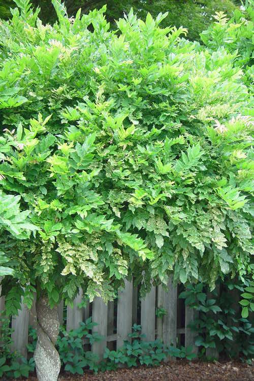 Wisteria floribunda 'Mon Nishiki' (variegated Japanese wisteria)