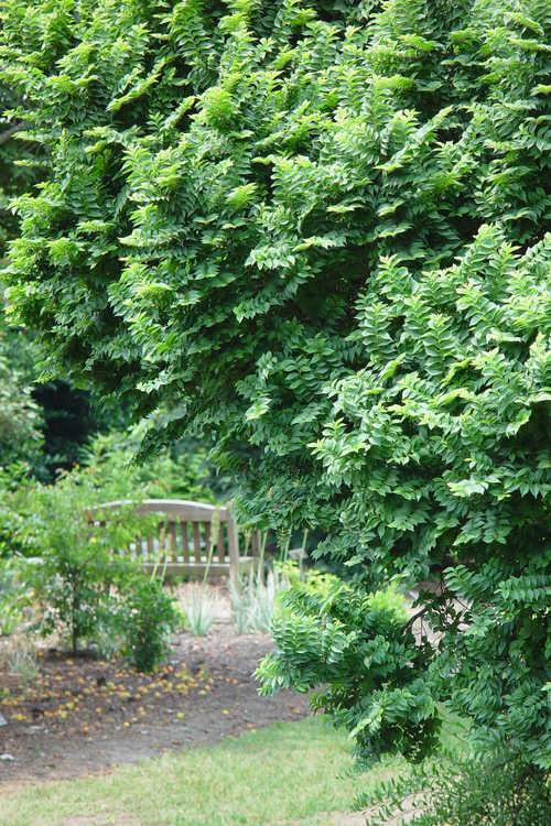 Ulmus ×hollandica 'Jacqueline Hillier' (dwarf Dutch elm)