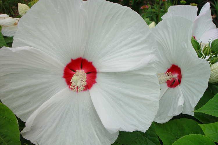 Hibiscus (mallow)