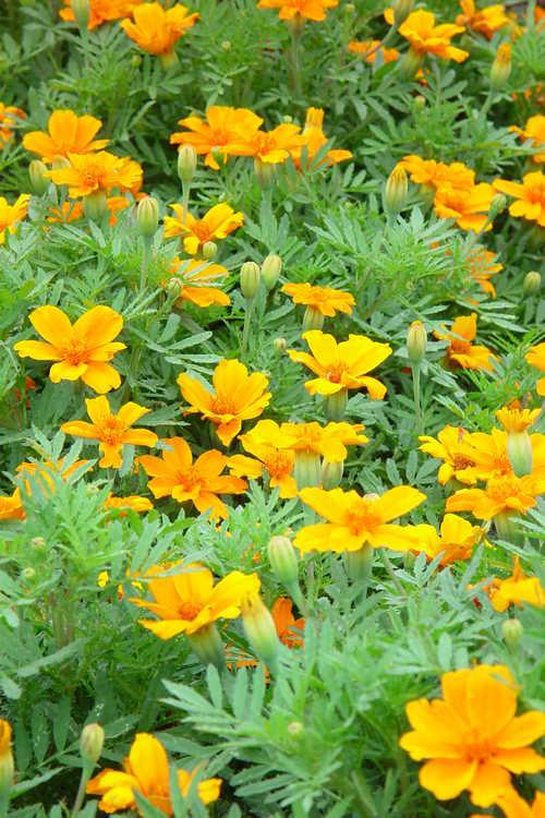 Tagetes patula 'Disco Orange' marigold