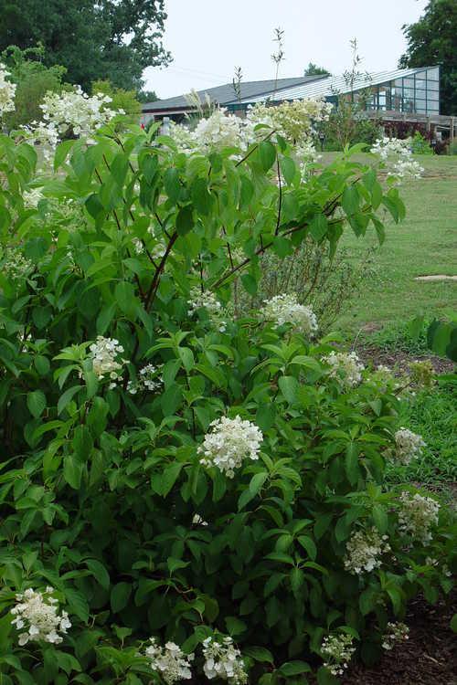 Hydrangea paniculata 'Brussels Lace' (panicled hydrangea)
