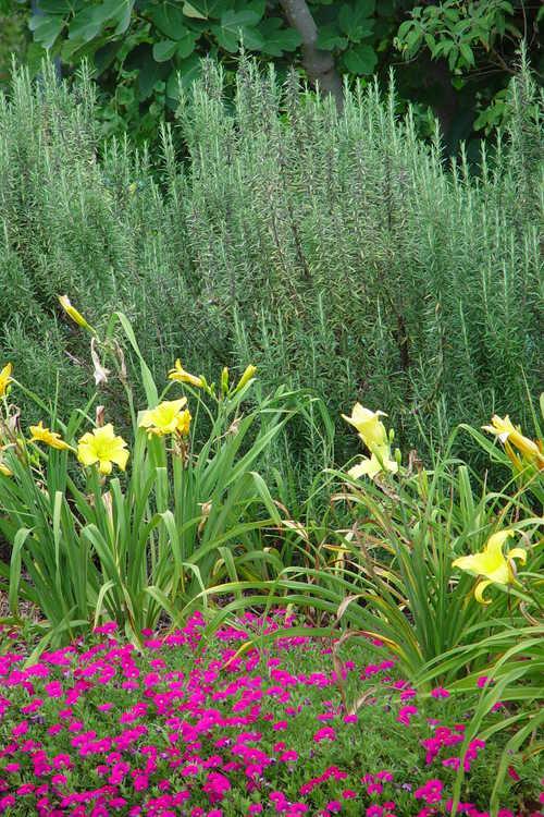 Daylilies light up the Paradise Garden