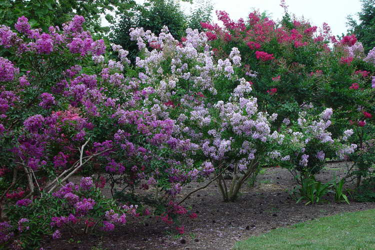 Miniature crepe myrtle collection in the East Arboretum