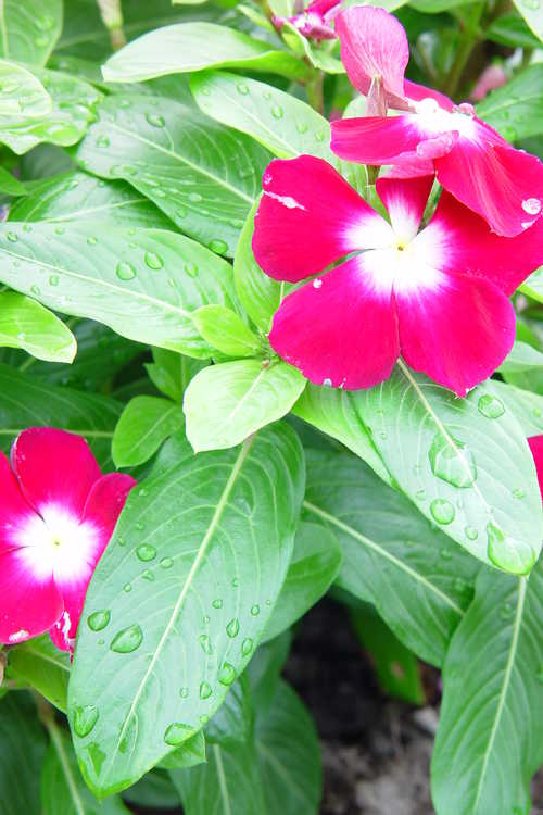 Catharanthus roseus (Madagascar periwinkle) - All-America Selections Contender