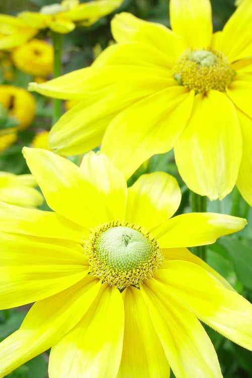 Rudbeckia hirta 'Prairie Sun' (black-eyed Susan)
