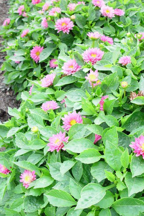 Dahlia ×hybrida 'Jaqui' dahlia