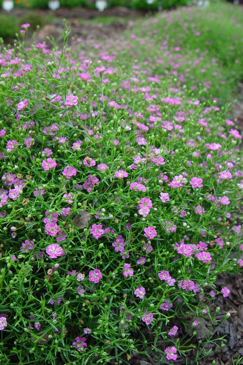 Gypsophila muralis 'Gypsy Deep Rose' (low baby's-breath)
