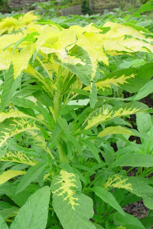 Amaranthus tricolor 'Aurora'