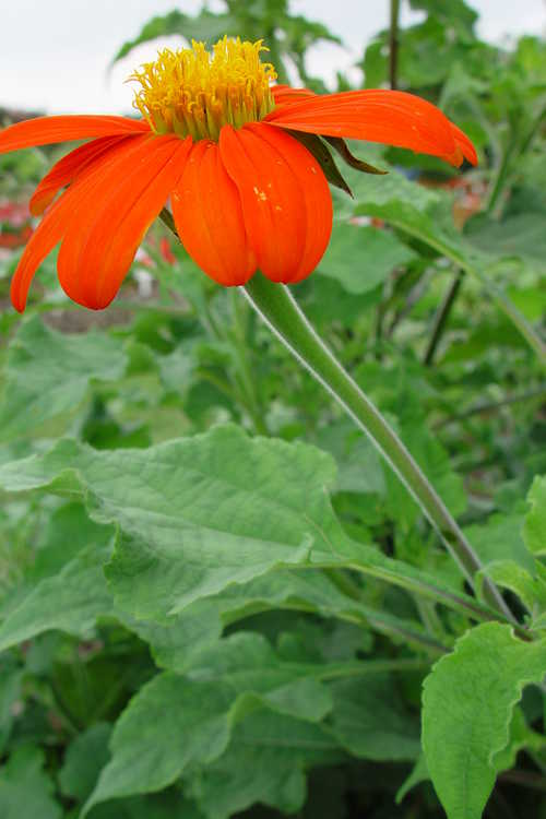 Tithonia rotundifolia 'Fiesta Del Sol' (Mexican sunflower)