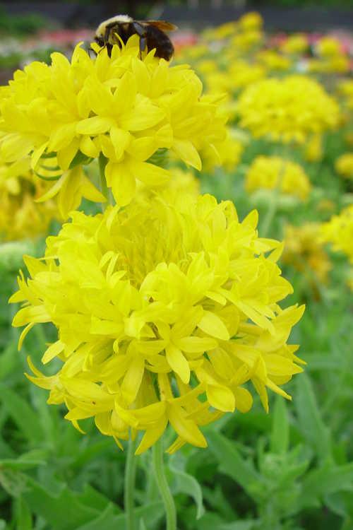 Gaillardia pulchella 'Baltoryell'
