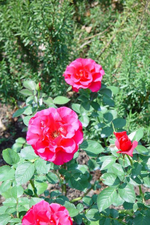 Rosa 'Jaczor' (Fame! tea rose)
