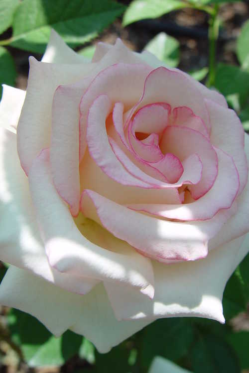 Rosa 'Wekcryland' (Moonstone™ hybrid tea rose)
