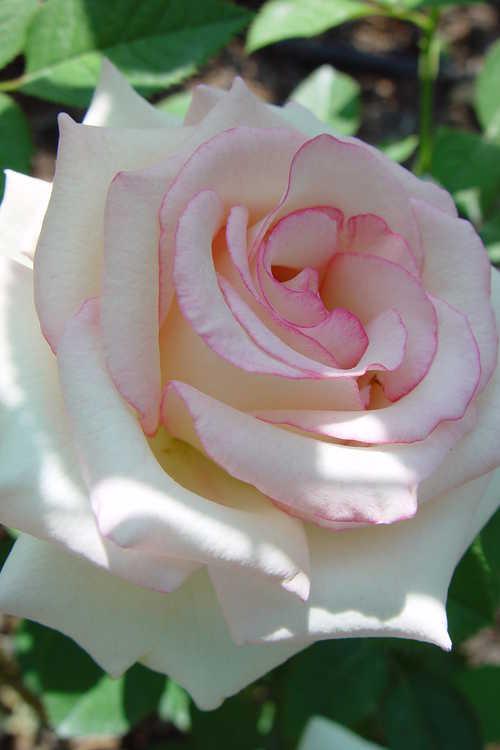 Rosa 'Wekcryland' (Moonstone tea rose)