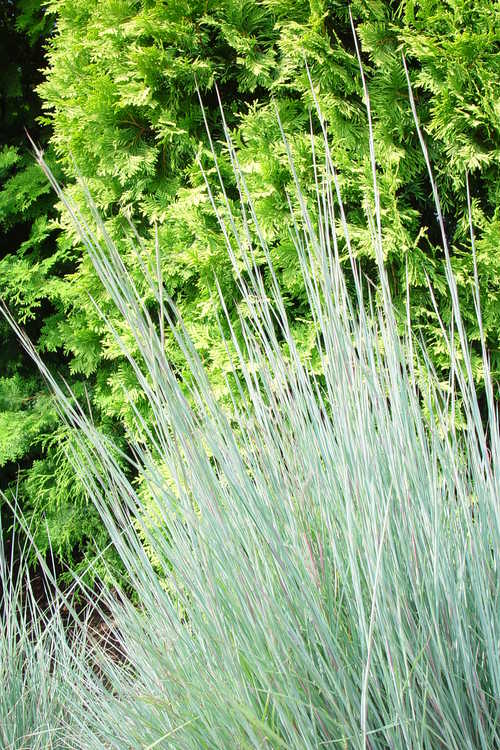 Schizachyrium scoparium var. scoparium 'The Blues' (common little bluestem)