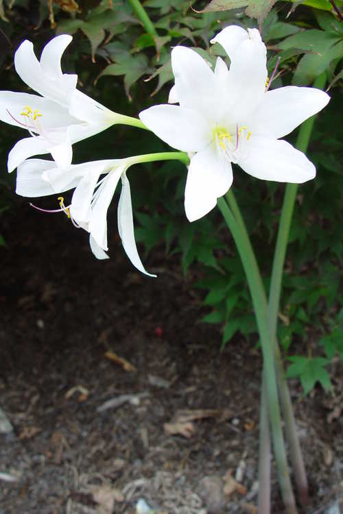 Lycoris longituba var. longituba (long-tube surprise-lily)