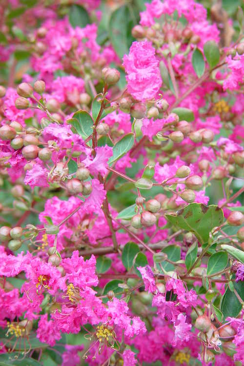 Lagerstroemia indica 'World's Fair' (miniature crepe myrtle)