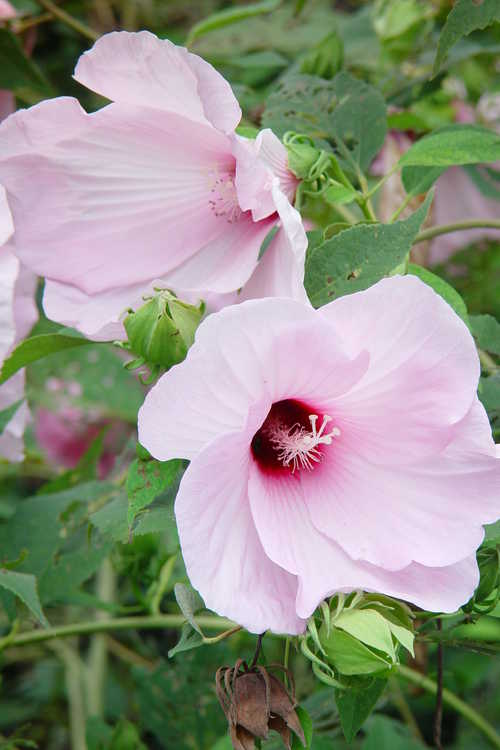 Hibiscus moscheutos (swamp rose-mallow)
