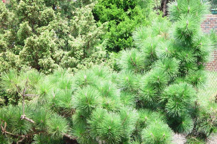 Pinus thunbergii 'Thunderhead' (Japanese black pine)