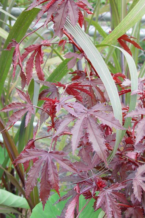 Hibiscus acetosella 'Jungle Red' (false roselle) and Saccharum officinarum 'Pele's Smoke' (purple sugarcane)