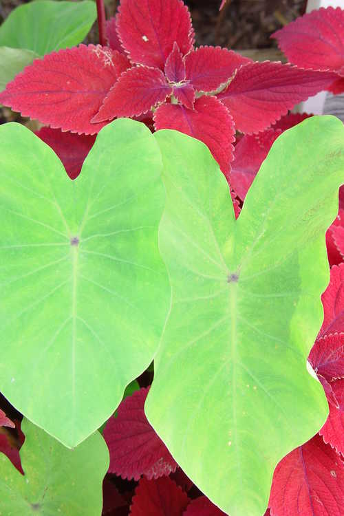 Colocasia esculenta 'Rhubarb' (red-stem elephant ear) and Solenostemon 'Crimson Velvet' (sun coleus)
