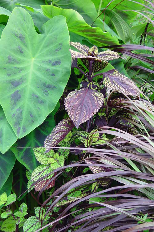 Colocasia antiquorum 'Illustris' (imperial taro) and Solenostemon 'Fishnet Stockings' (sun coleus)