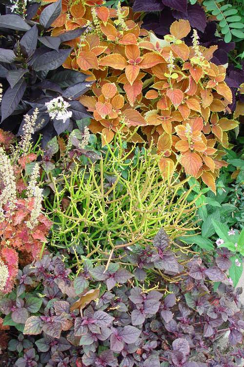 Euphorbia tirucalli 'Rosea' (firesticks pencil cactus) and Solenostemon (coleus)