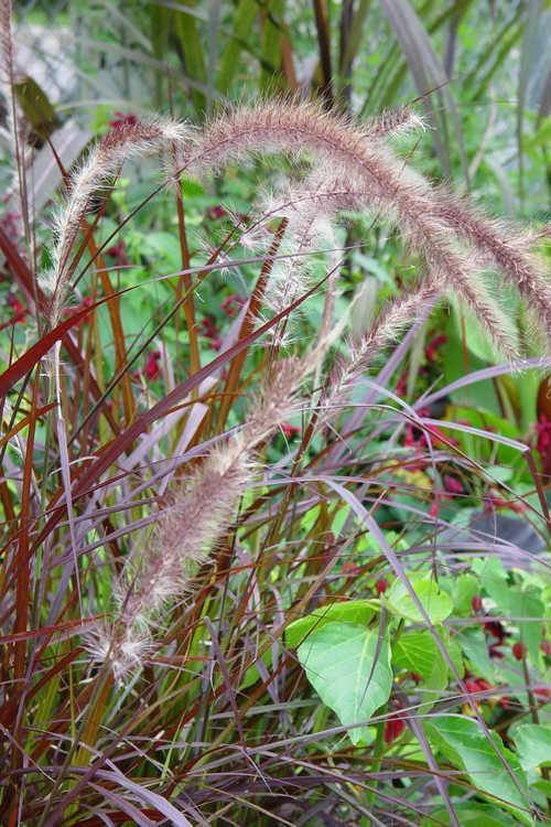 Pennisetum setaceum 'Rubrum' (annual purple fountain grass)