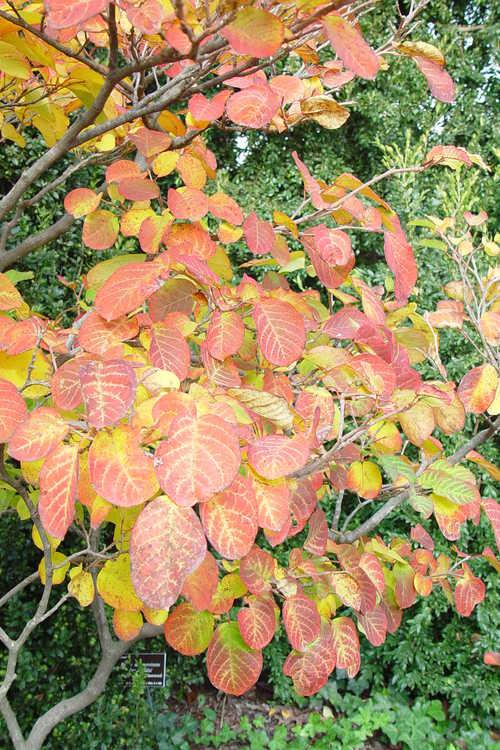 Neoshirakia japonica (tallow tree)