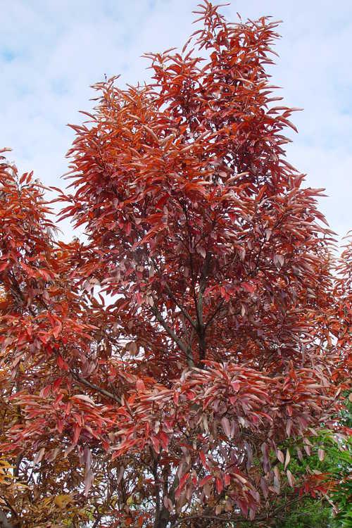 Lindera salicifolia (willowleaf spicebush)
