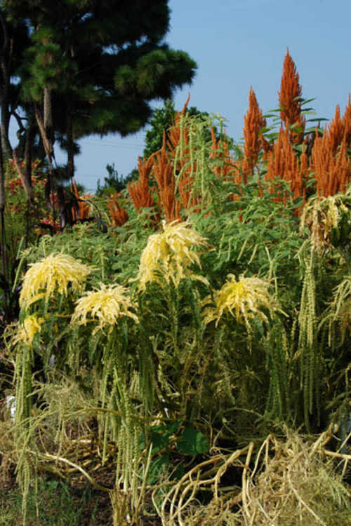 The wacky Amaranthus and Celosia bed