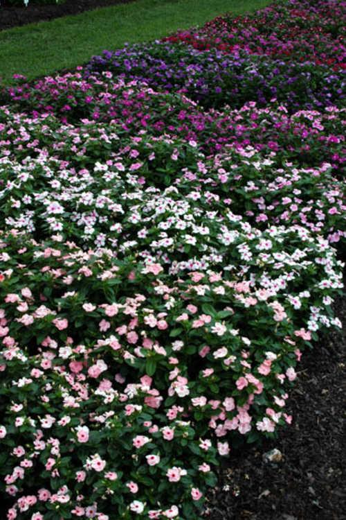 Catharanthus roseus (Madagascar periwinkle) - Vinca! Vinca! Vinca!