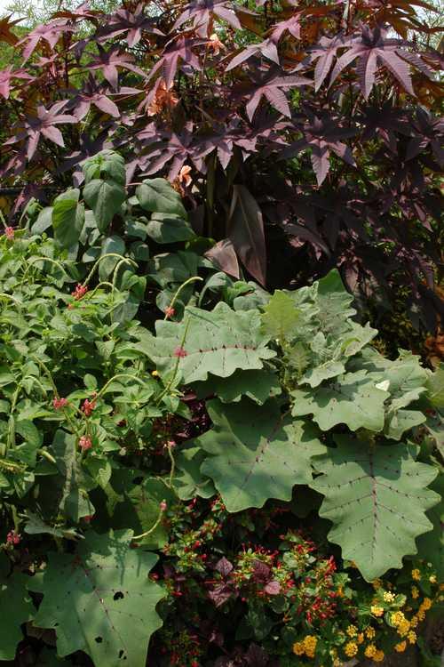 Solanum quitoense (bed of nails)