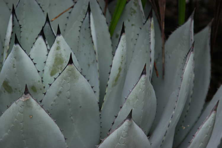 Agave parryi subsp. parryi var. huachucensis (Fort Huachuca barrel agave)