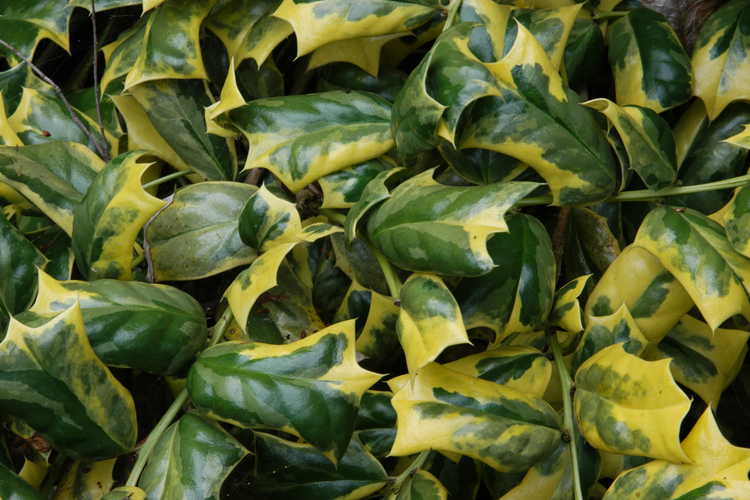 Ilex cornuta 'O. Spring' (variegated Chinese holly)