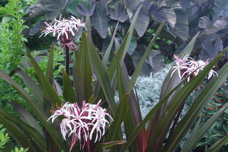 Crinum asiaticum var. procerum f. splendens (red-leaf grand crinum-lily)