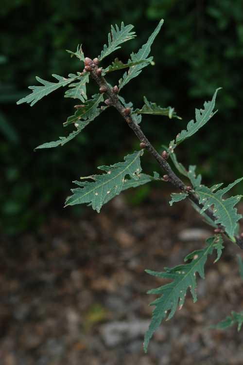 Quercus robur 'Pectinata' (cutleaf English oak)