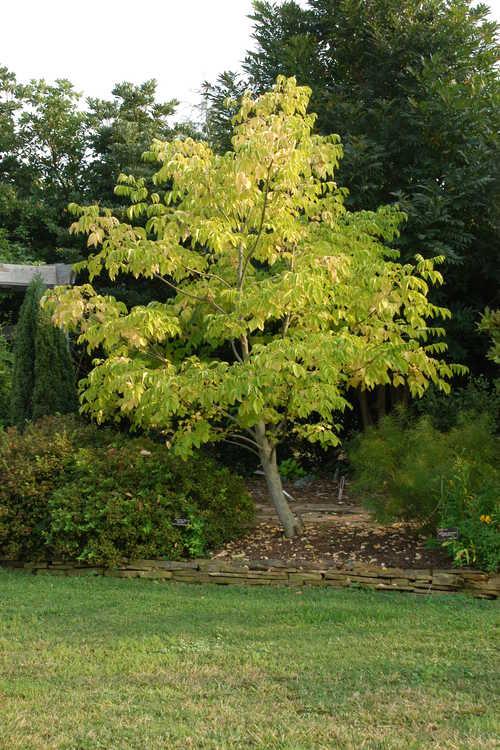 Tetradium baberi (Baber's bee-bee tree)