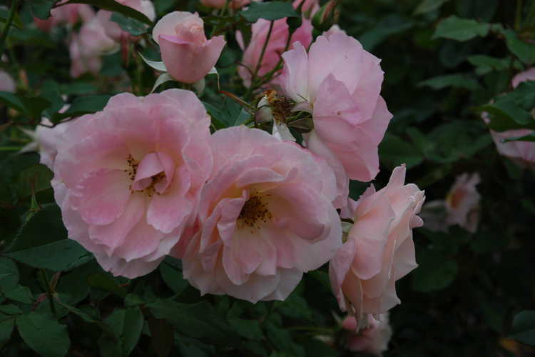 Rosa 'Jacling' (First Kiss floribunda rose)