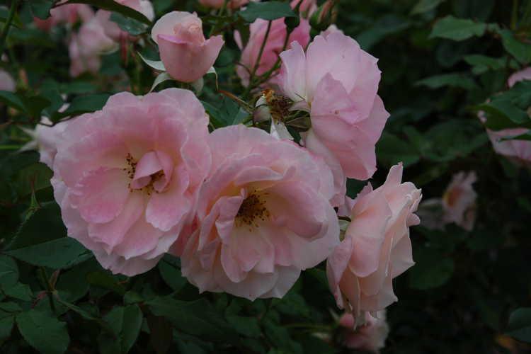 Rosa 'Jacling' (First Kiss floribunda rose)