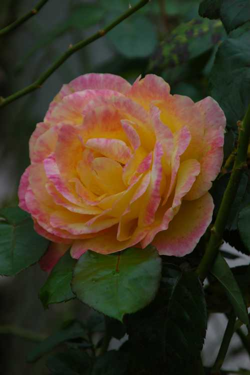 Rosa 'Baipeace' (Love & Peace™ hybrid tea rose)