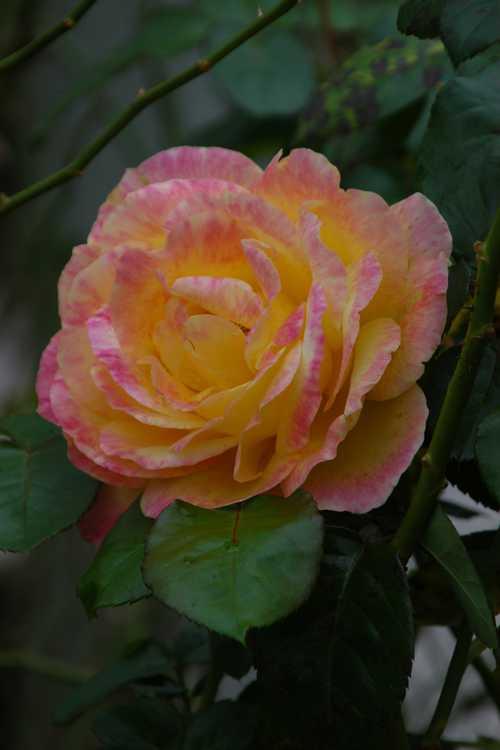 Rosa 'Baipeace' (Love & Peace tea rose)