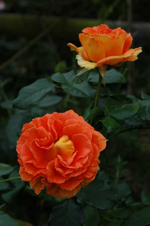 Rosa 'Jaccofl' (Brass Band floribunda rose)