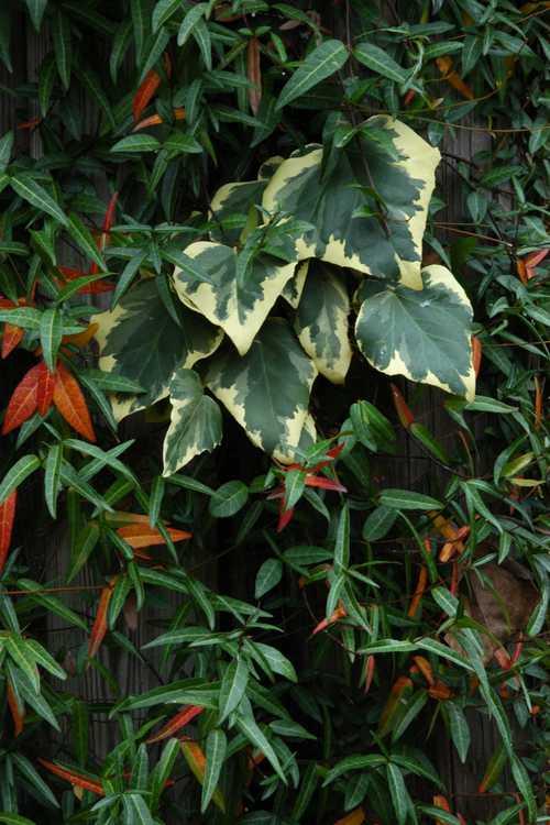 Hedera colchica 'Dentata Variegata' and Trachelospermum jasminoides (hardy Confederate jessamine)