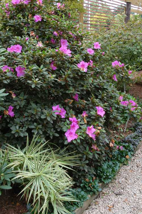 Carex phyllocephala 'Sparkler' (carnation grass) and Rhododendron 'Conlec' (Autumn Royalty™ Encore Azalea®)