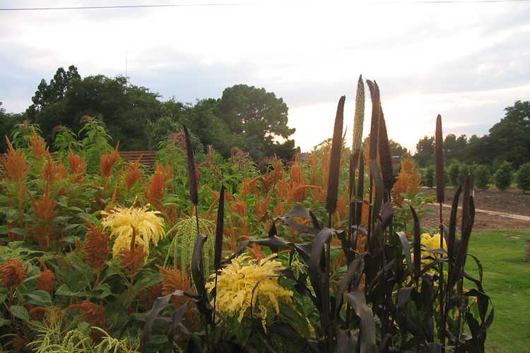 Amaranthus and Pennisetum glaucum 'Purple Majesty' (purple millet)